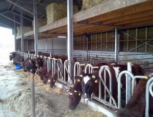 Hobby-koeienstal-3